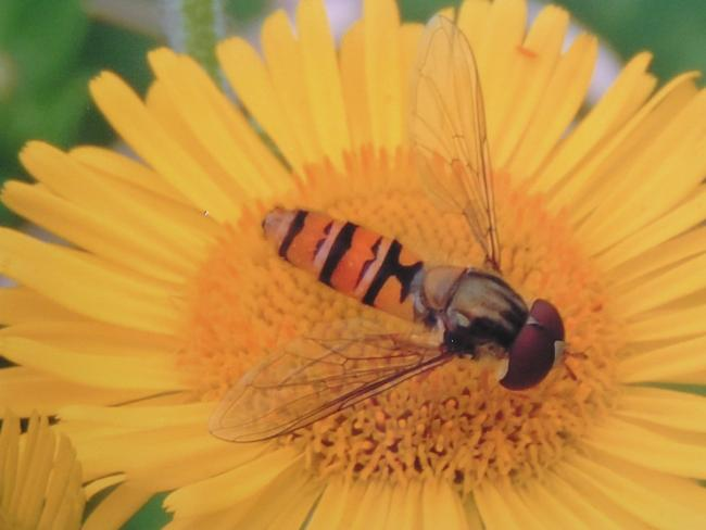 Hoverflies doing well this summer