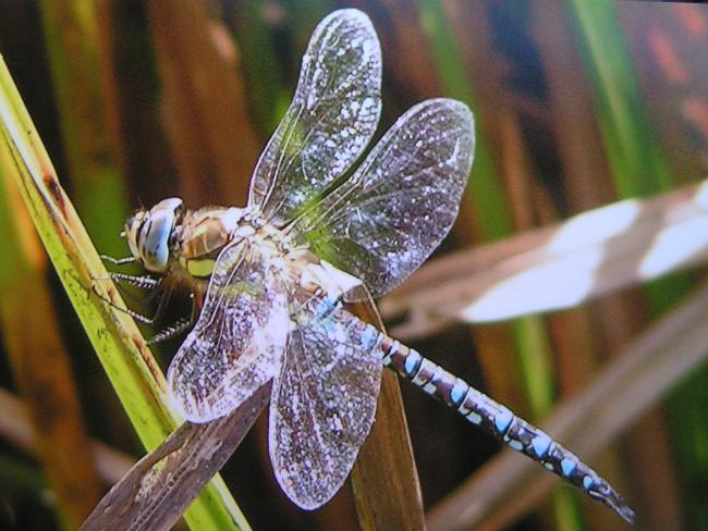 Thrilling to watch an abundance of dragonflies