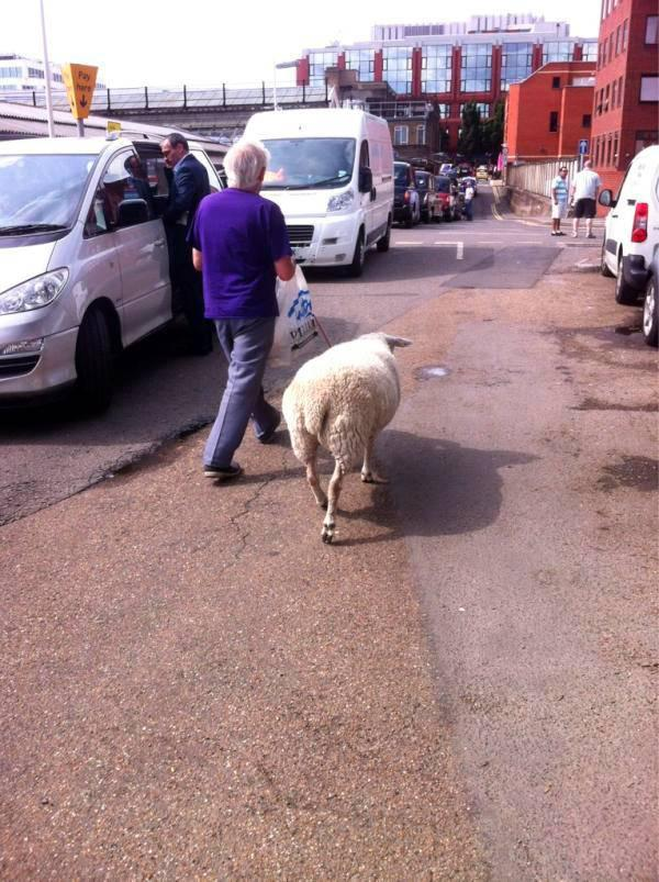 Sheep on the stroll in Wimbledon Town Centre