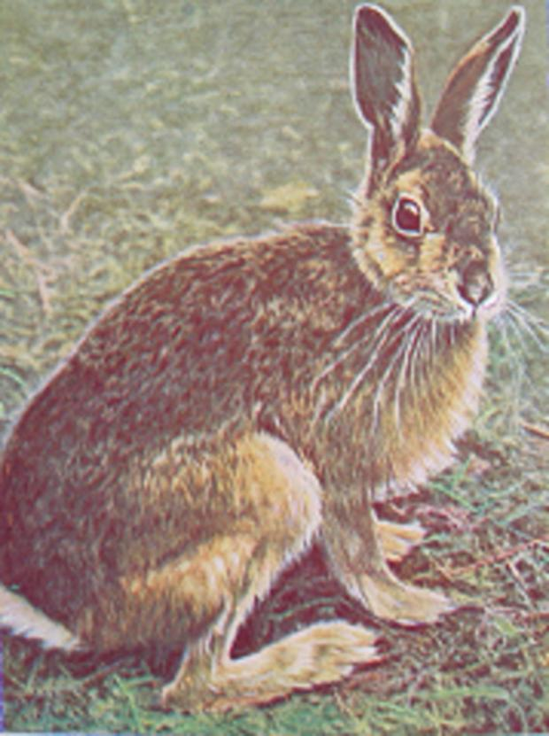 Gone from Wimbledon Common: The brown hare