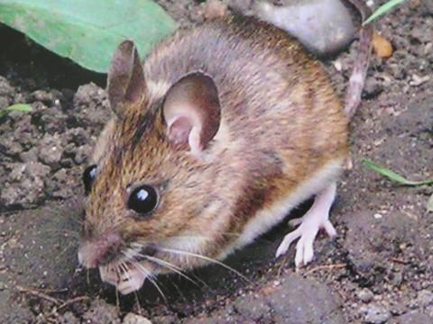 The woodmouse