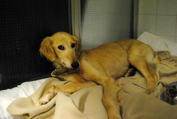 The young Saluki dog is set to undergo surgery for a fractured leg
