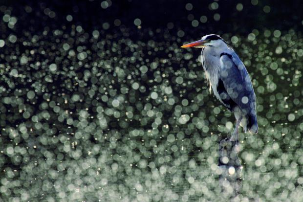 This photo of a Grey Heron was taken by Danielle Connor at Queensmere pond in May