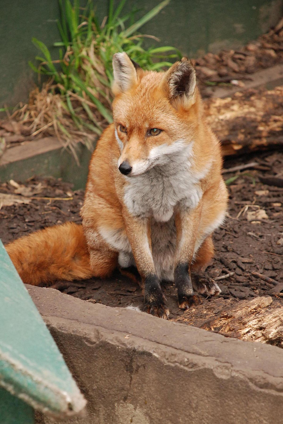 A family of foxes has been caged at St Marks Academy