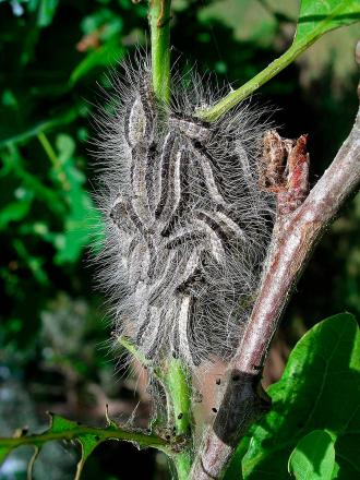 Oak processionary moth on a tree, (pic by Dave Williams)