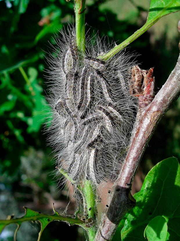 Wimbledon Guardian: Oak processionary moth on a tree, (pic by
