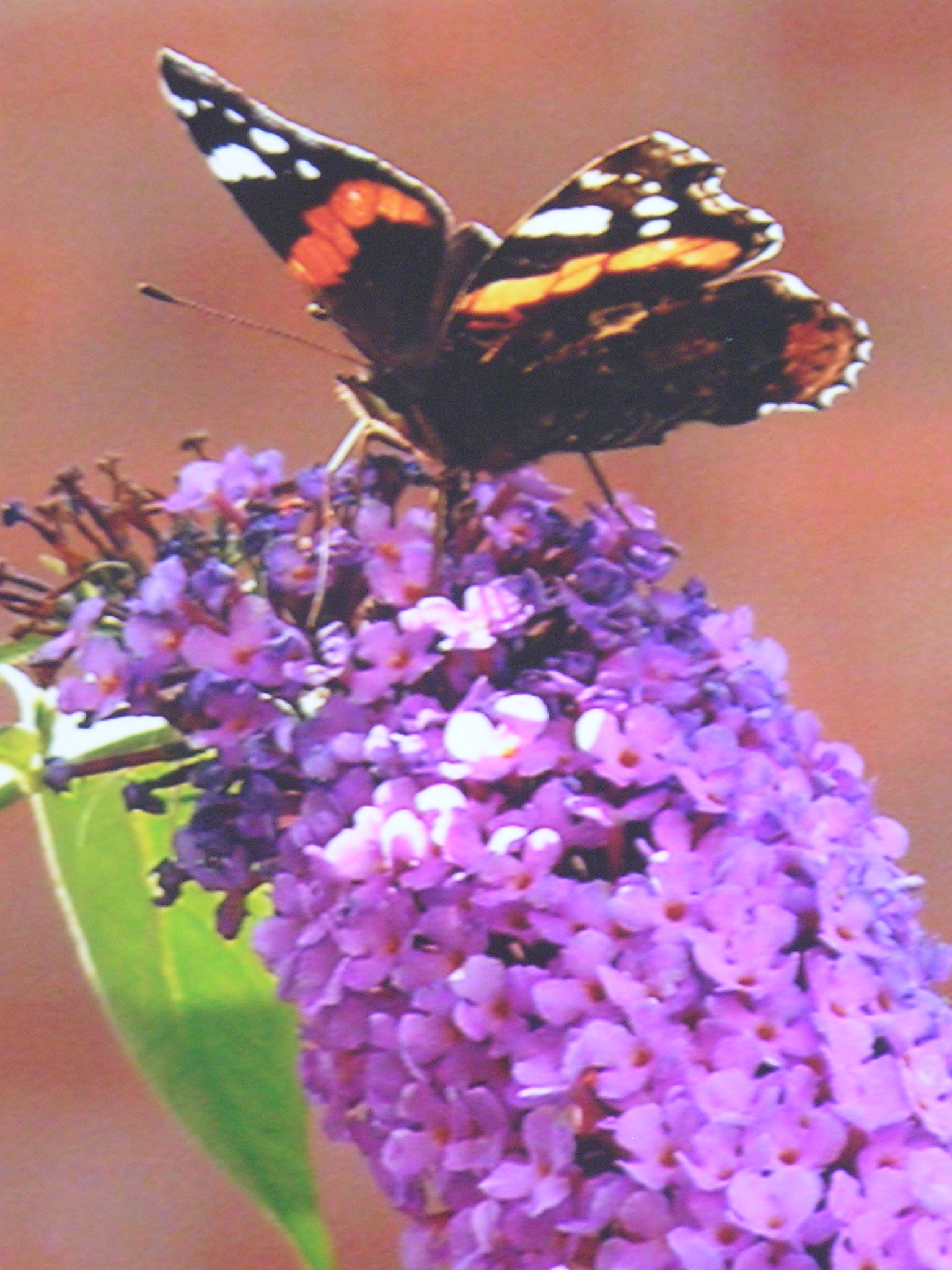 Buddleia is not native to our shores but was an import from China and Russia in the 19th century