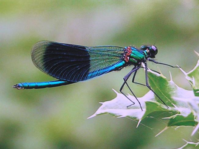 There are around nine species of damselflies in our areas